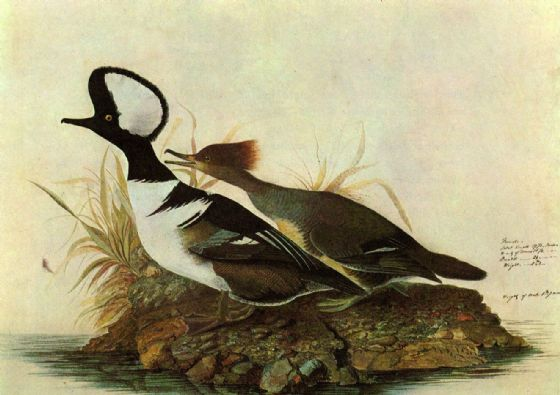 Audubon, John James: Hooded Merganser. Ornithology Fine Art Print/Poster. Sizes: A4/A3/A2/A1 (001122)